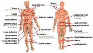 Inilah Organ Tubuh Manusia dan Fungsinya Lengkap