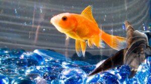 Bagaimana Cara Ikan Bernapas Di Dalam Air Official Website Initu Id