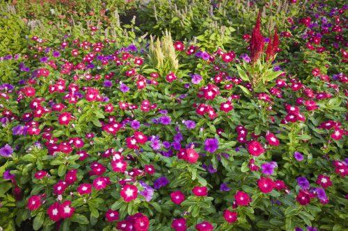 Bunga Vinca Warna Warni Outdoor Indah
