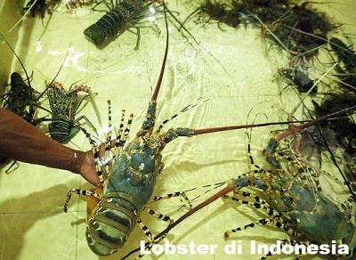 Sejarah dan Jenis Lobster di Indonesia